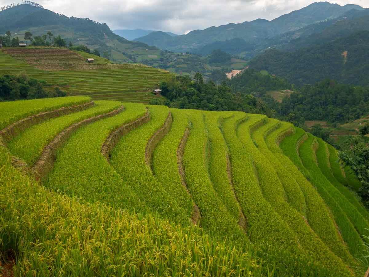 טרסות אורז בויאטנם
